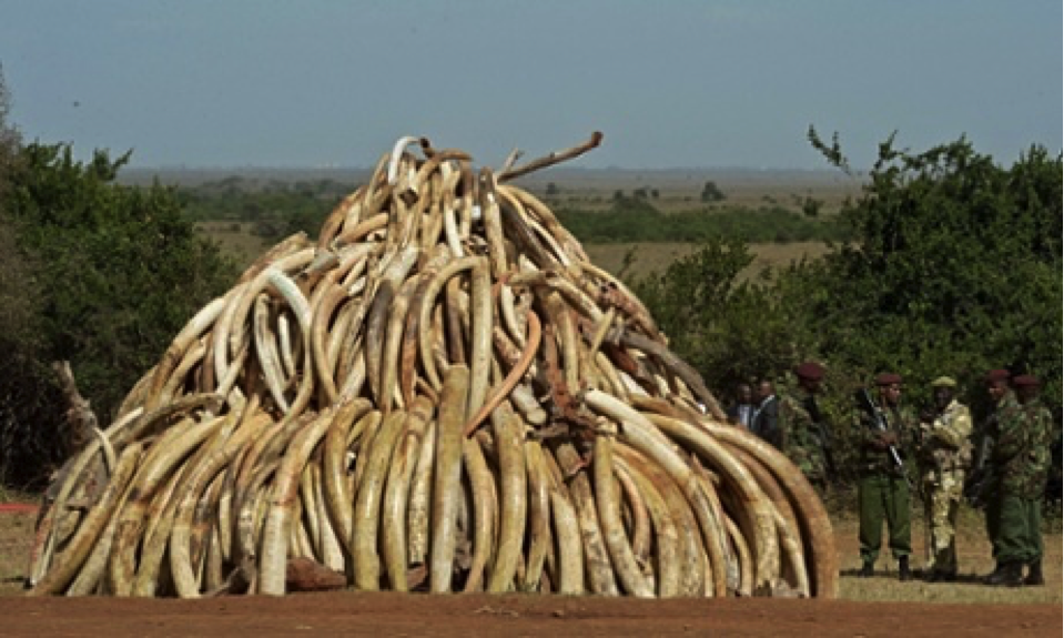 Confiscated elephant tusks from murdered elephants in Tanzania